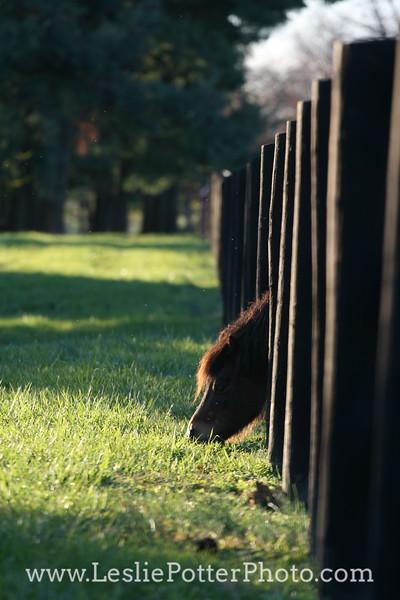 Mini Horse Grazing Through Pasture Fence
