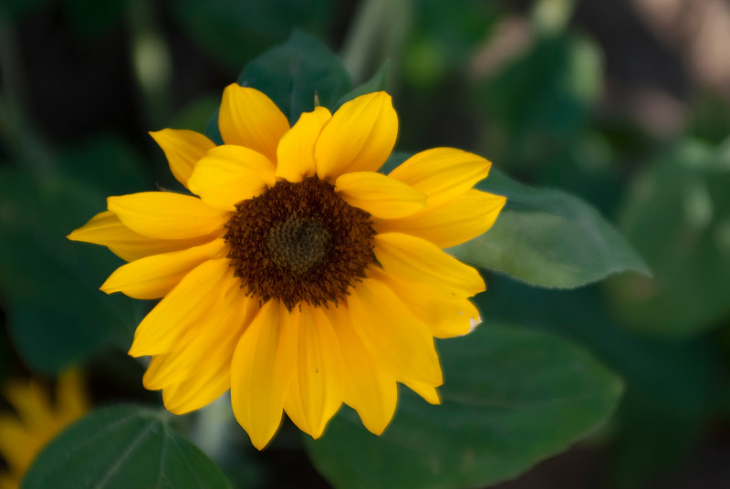 130411_Sunflowers_032-Edit.jpg