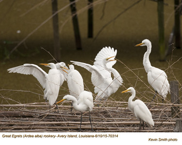 Great Egrets Rookery70314.jpg