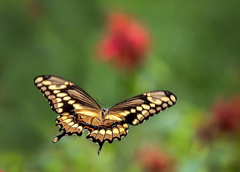 GiantSwallowtail_03.jpg