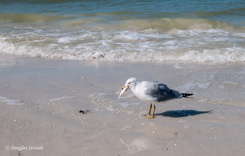 Seagull gulping down a squid