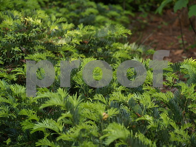 japanese-plum-yew-great-groundcover