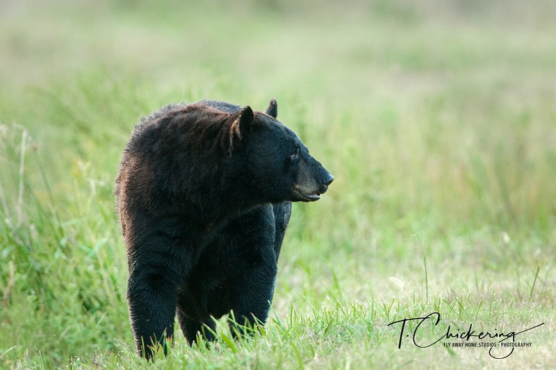 Black Bear in a Field-1505695761130.jpg