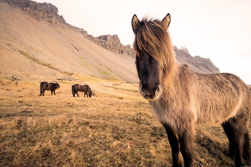 horsesiniceland.jpg