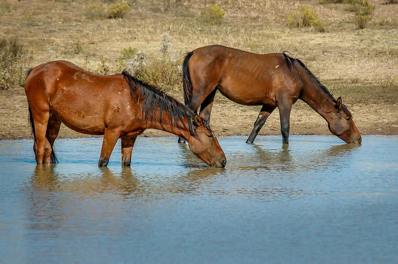 Wild Horse Group Drinking #4