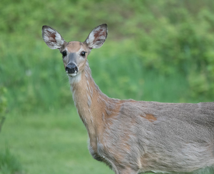 Deer in the yard.jpg
