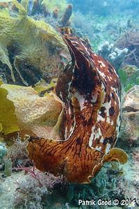 Aplysia gigantea