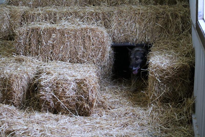 20160710 Winnegamie Barn Hunt Trial (41).JPG