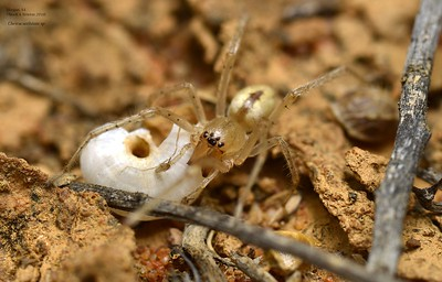 Eutichuridae  (Sac Spiders)