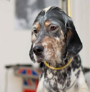 English-Setter-Dog-Grooming-UK.jpeg
