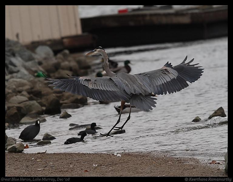 Great Blue Heron, Lake Murray, San Diego County, California, December 2008