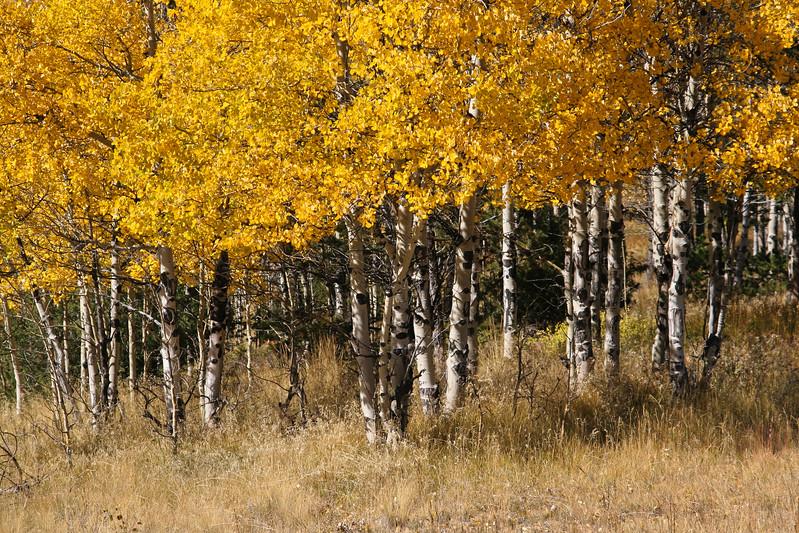 Autumn Aspen Grove