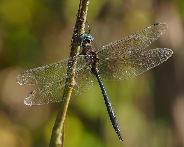 Fine-lined Emerald, male