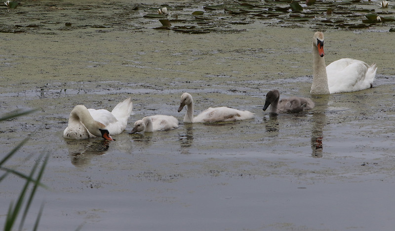 """A family of mute swans heads for the culvert under Beaver Brook Road on Beaver Brook in Westford.  Adults have orange bills with black knobs. Young mute swans (cygnets) come in two color morphs, grey (""""Royal"""") and white (""""Polish""""). (SUN/Julia Malakie)"""