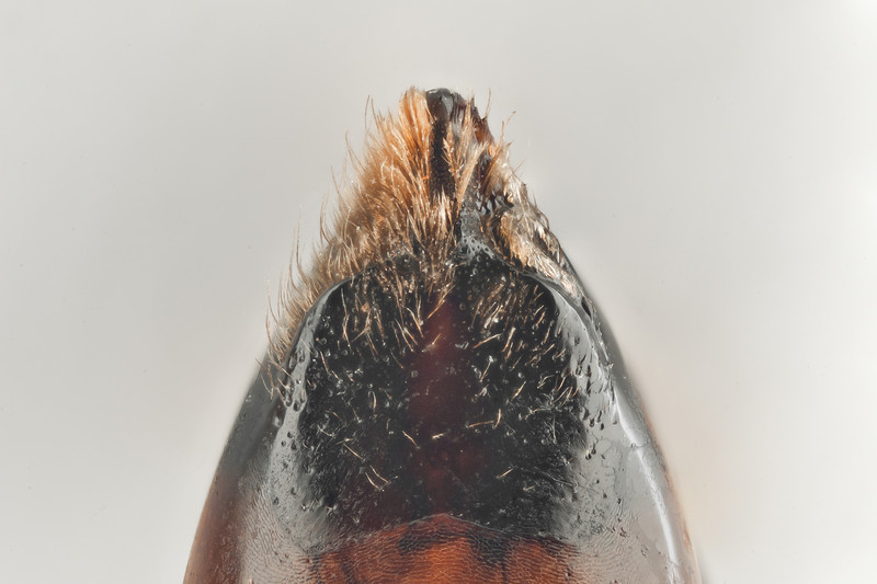 Bombus norwegicus -bukledd