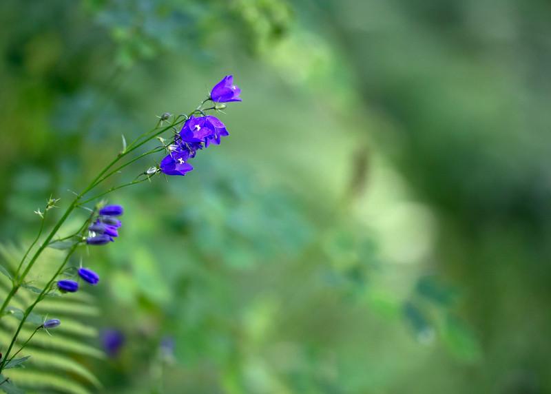 La belle fleur bleue de Maurienne