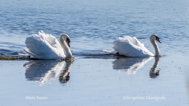 _DSC7794Two Swans.jpg