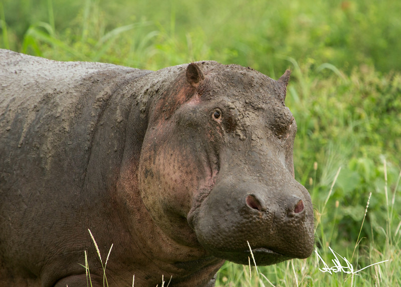 Hippos S-16.jpg