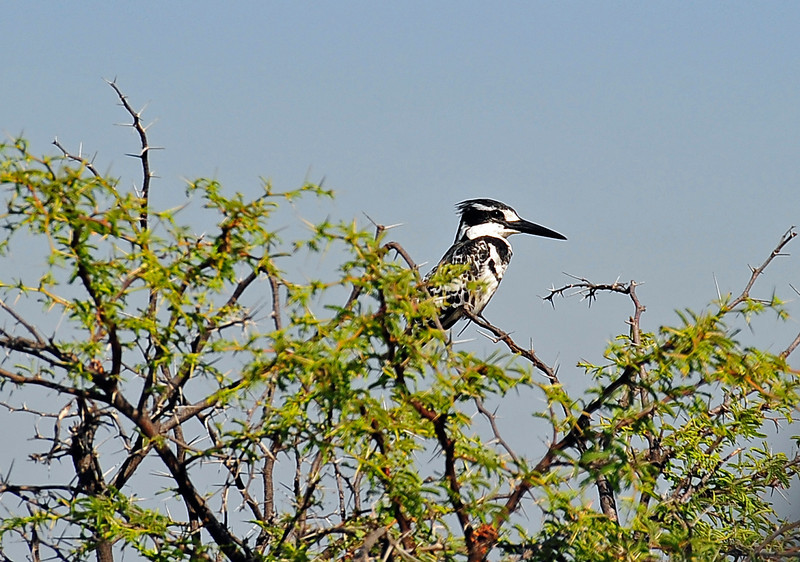 EPV0804 Pied Kingfisher in Thorned Acasia Tree