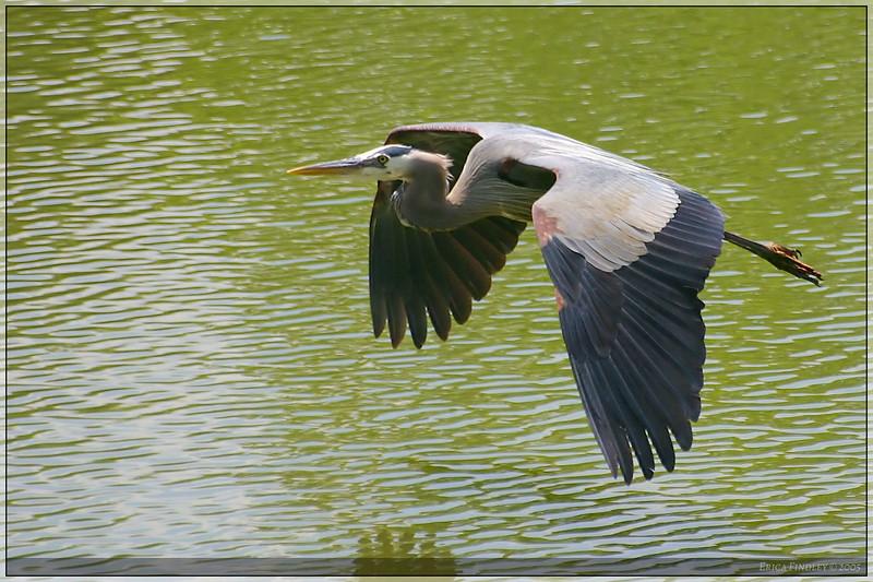 heron in flight_filtered.jpg