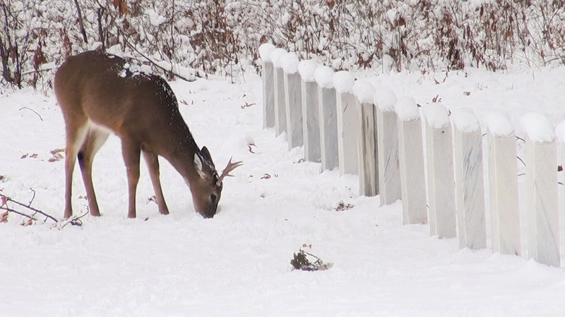 whitetail_headstones.mov