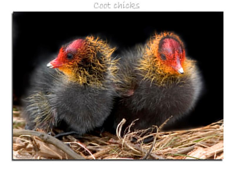 Fonzy coot chicks