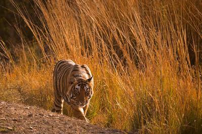 Wild tiger in forest habitat of Ranthambhore national park