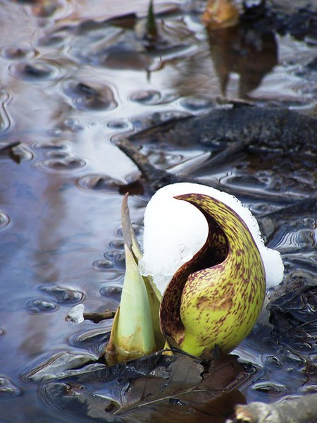 Emerging Skunk Cabbage