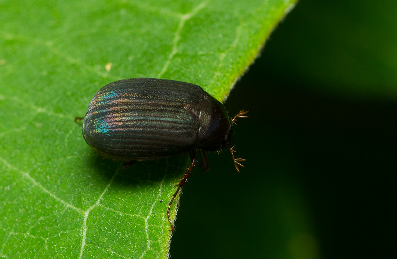 Scarab beetle (Scarabaeidae: Melolonthinae: Serica sp.) from Wisconsin.