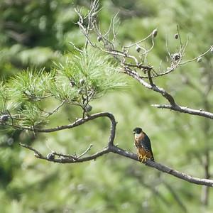 Orangebreasted Falcon