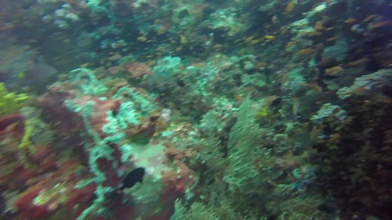 Abundant fish on wall reef.MP4