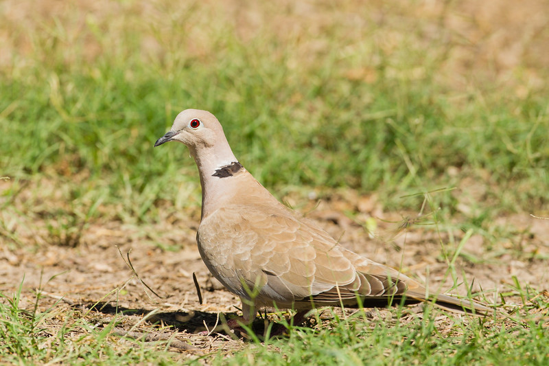 Eurasian-collared Dove - Martin Refuge, Mission, TX, USA