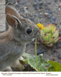 Mountain Cottontail A27357.jpg