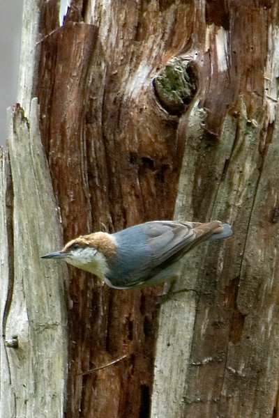 Nuthatch - Brown-headed - Okefenokee Swamp - GA
