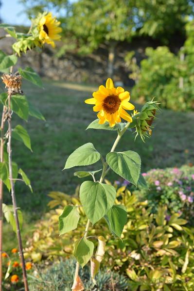Sunflower Lonay_20092020 (15).JPG