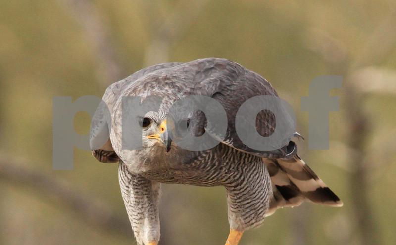 Gray hawk 6841c.jpg