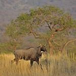 Indian antelope or Nilgai in Ranthambhore national park