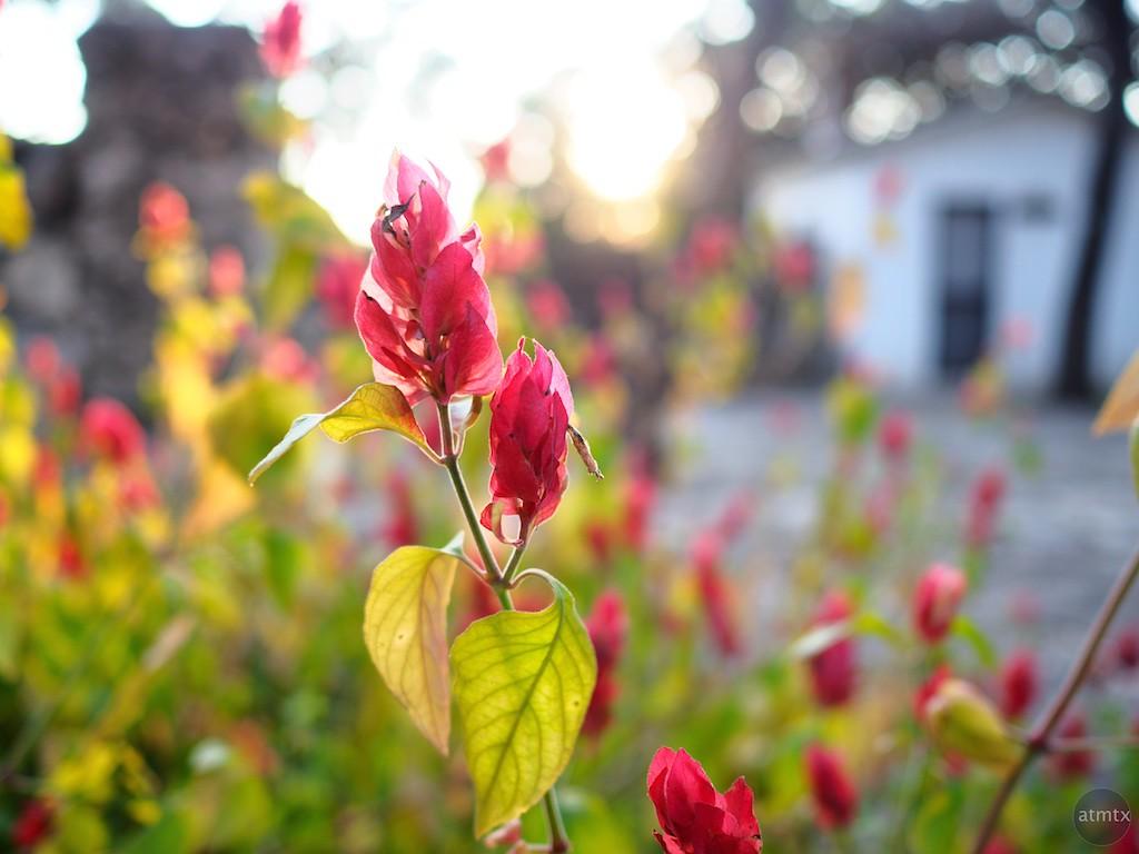 Backlit Flower, Mayfield Park - Austin, Texas