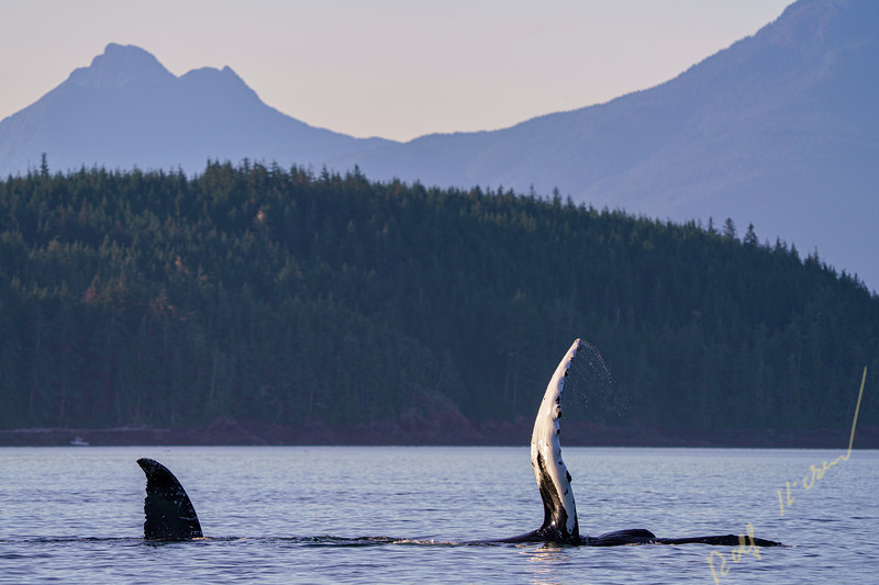 Two humpbck whales socializing in Blachfish Sound showing their flipper and tail-fluke, off northern Vancouver Island, First Nations Territory, British Columbia, Canada