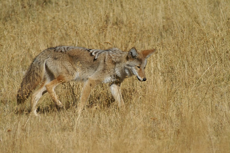 Coyote Yellowstone NP WY IMG_0000855.jpg