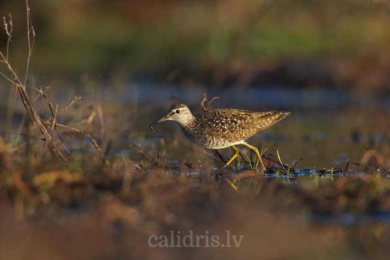 Feeding Wood Sandpiper with a worm in the beak