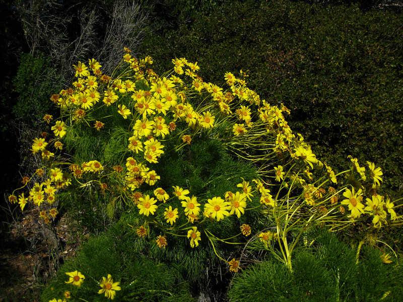 Giant Coreopsis flower