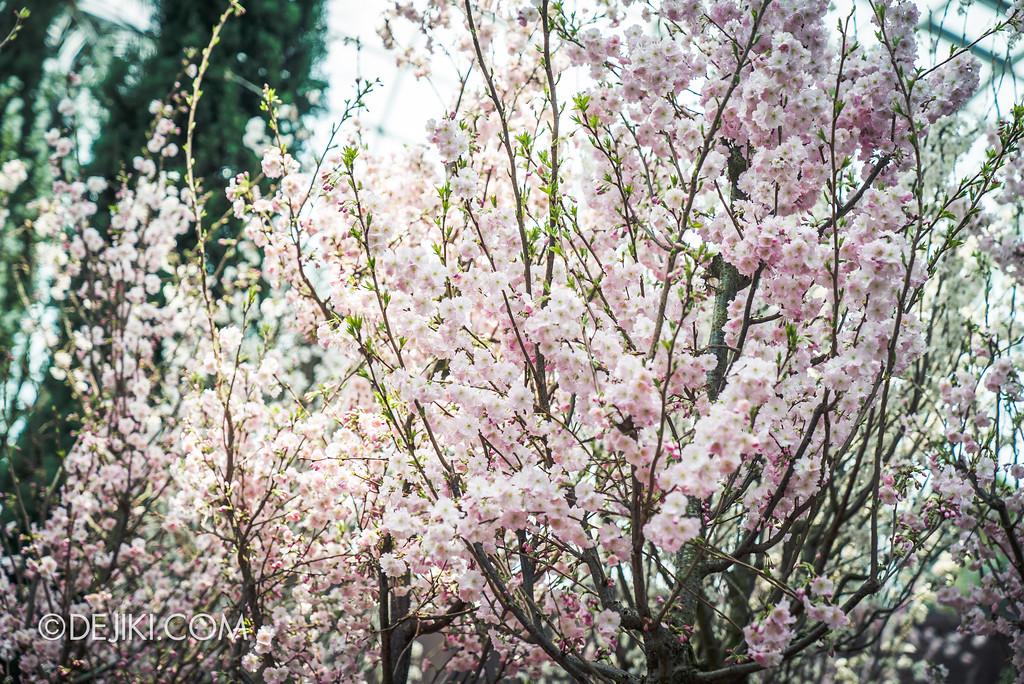 Gardens by the Bay - Sakura Matsuri 2018 floral display - flower field pink sakura