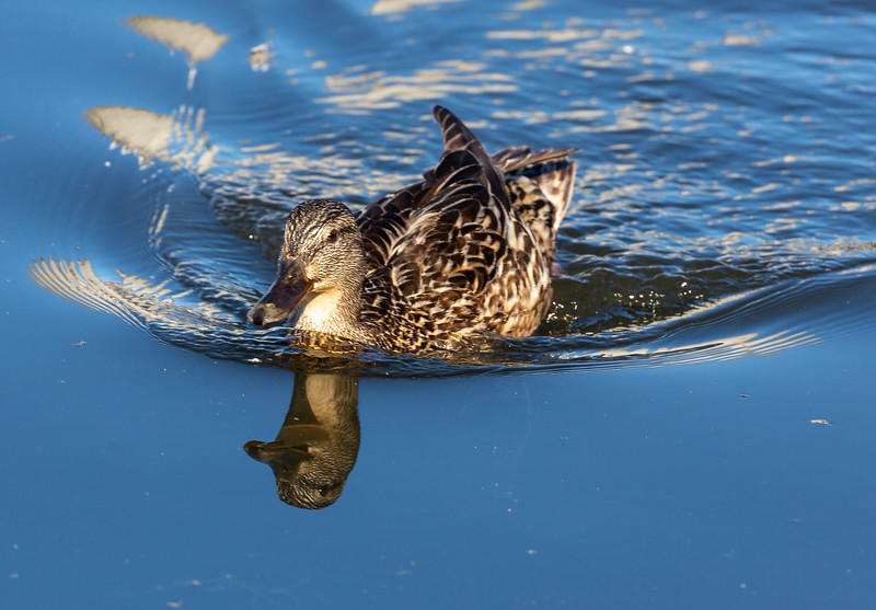 Female Icelandic Mallard swimming toward us