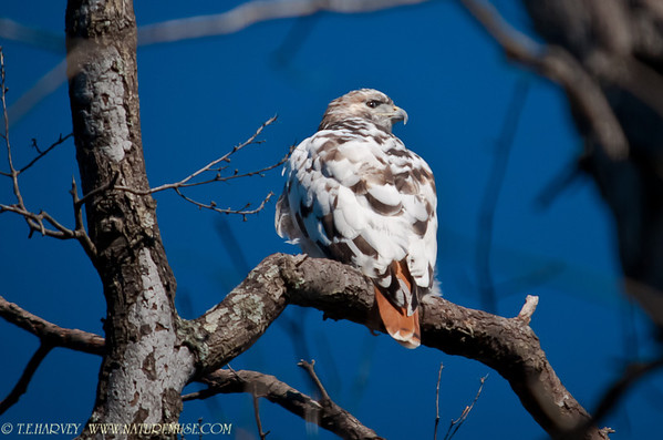 Hawk-Redtailed Albino