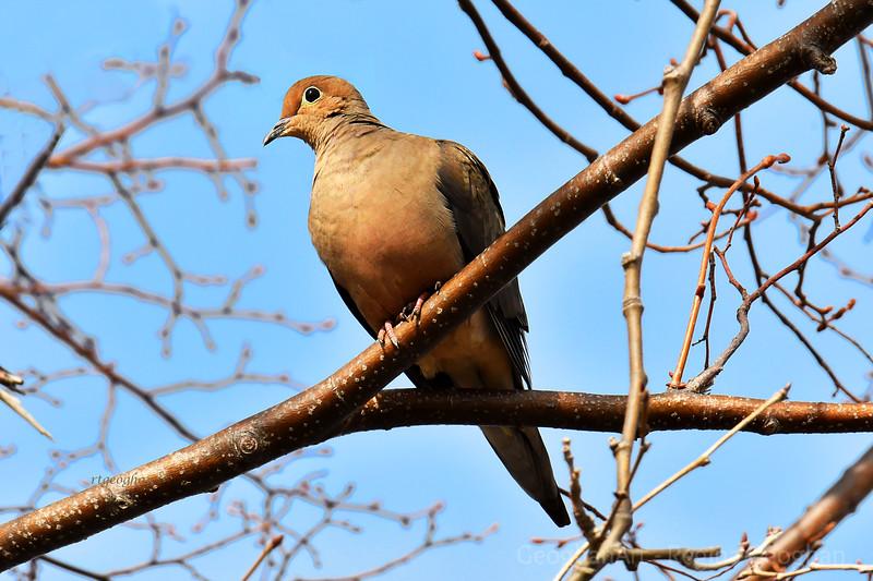 Mourning Dove in Sundown Light