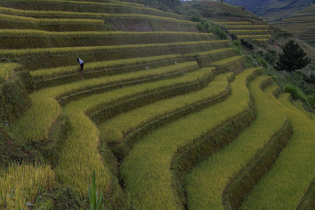 . This picture taken on October 2, 2013 shows a Hmong ethnic hill tribe man harvesting rice on a terrace rice field in Mu Cang Chai district, in the northern mountainous province of Yen Bai. The local residents, mostly from the Hmong hill tribe, grow rice in the picturesque terrace fields whose age is estimated to hundreds years. Due to hard farming conditions, especially irrigation works, locals produce only one rice crop per year. In recent years a growing numbers of tourists have been attracted by the beautiful landscapes created by the region\'s rice terrace fields.  HOANG DINH NAM/AFP/Getty Images