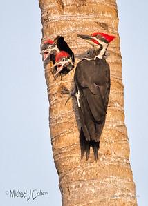 Pileated Woodpecker Nest