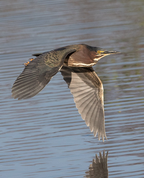 Green Heron Fly-5452.jpg