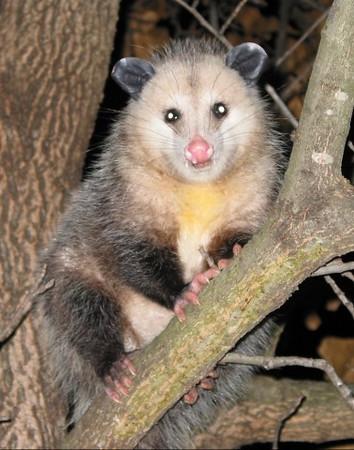 Opossum01.jpg